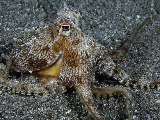 The Endemic Short-Armed Sand Octopus (Amphioctopus Arenicola), Maui, Hawaii, USA-David Fleetham-Photographic Print