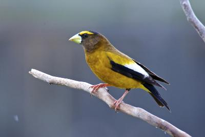 The Evening Grosbeak Is a Passerine Bird in the Finch Family Fringillidae-Richard Wright-Photographic Print
