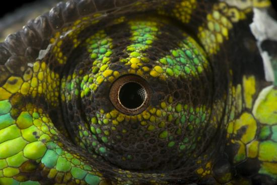 The Eye of a Veiled Chameleon, Chamaeleo Calyptratus, in Lincoln, Nebraska-Joel Sartore-Photographic Print