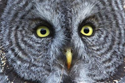 The Eyes of a Great Gray Owl-Barrett Hedges-Photographic Print