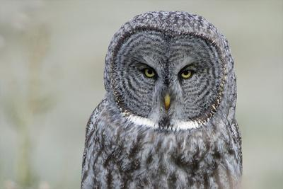 The Face of a Great Gray Owl Looking for Food-Barrett Hedges-Photographic Print