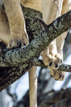 https://imgc.artprintimages.com/img/print/the-feet-and-toes-of-an-african-lion-standing-on-branches-in-the-canopy-of-a-tree_u-l-pokc5w0.jpg?p=0