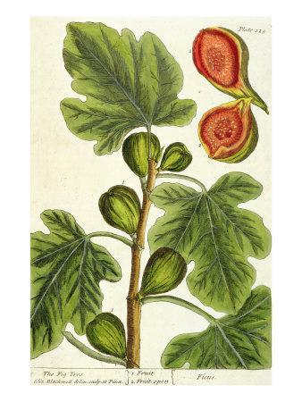 https://imgc.artprintimages.com/img/print/the-fig-tree-plate-125-from-a-curious-herbal-published-1782_u-l-p94aqe0.jpg?p=0