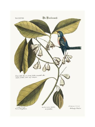 The Finch-Creeper, 1749-73-Mark Catesby-Giclee Print