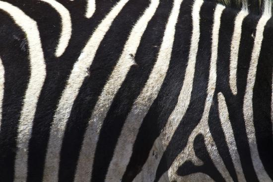 The Flank of a Zebra Showing its Stripes-Michael Melford-Photographic Print