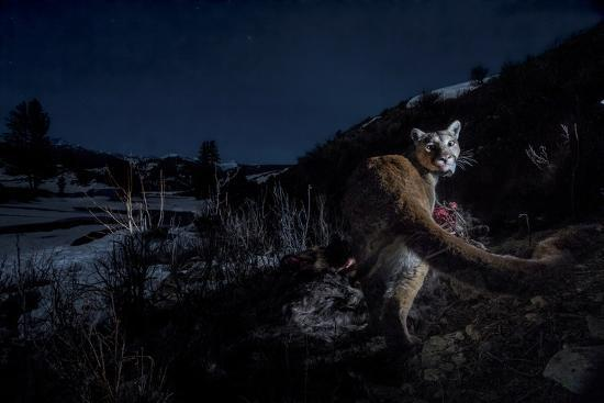 The Flash of a Remote Camera Diverts a Wyoming Cougar from its Kill  Photographic Print by Steve Winter | Art com