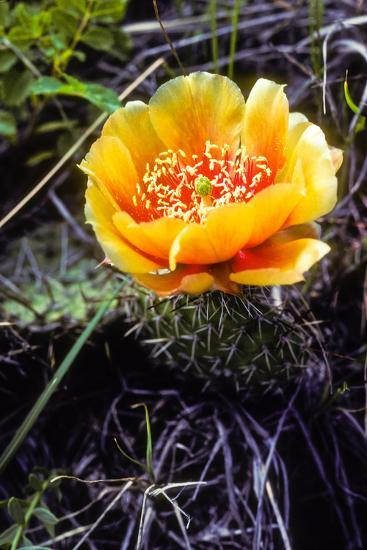 The Flower of a Prickly Pear Cactus-Tom Murphy-Photographic Print
