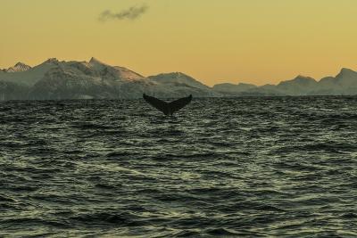 The Flukes of a Whale Off Lofoten Archipelago-Cristina Mittermeier-Photographic Print