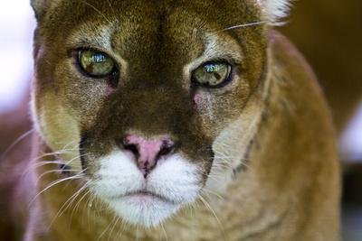 https://imgc.artprintimages.com/img/print/the-focused-and-menacing-stare-of-a-mountain-lion-with-lime-green-eyes_u-l-pokbwq0.jpg?p=0