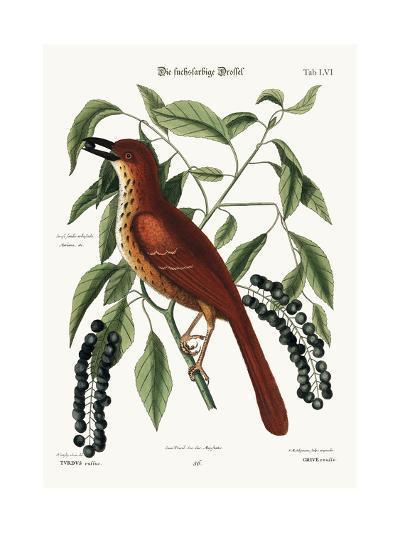 The Fox Coloured Thrush, 1749-73-Mark Catesby-Giclee Print