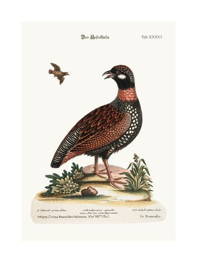 The Francolin, 1749-73-George Edwards-Giclee Print