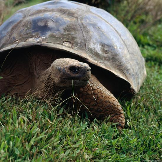 The Galapagos Tortoise is the Largest Living Tortoise, Galapagos, Ecuador-Wes Walker-Photographic Print