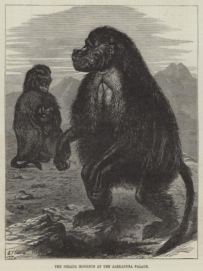 The Gelada Monkeys at the Alexandra Palace--Giclee Print