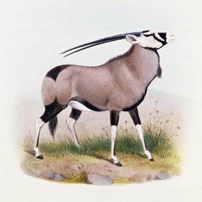 The Gemsbok, from 'The Book of Antelopes'-Wolf & Smit-Giclee Print