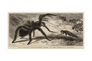 The Gigantic Mouse-Eating Spider at the Zoological Gardens