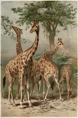 https://imgc.artprintimages.com/img/print/the-giraffe-by-alfred-edmund-brehm_u-l-puck4h0.jpg?p=0