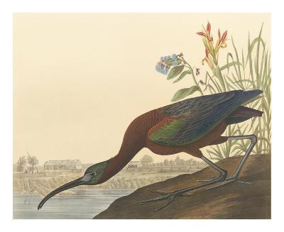 The Glossy Ibis-John James Audubon-Premium Giclee Print