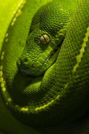 https://imgc.artprintimages.com/img/print/the-golden-eye-emerald-coils-and-scales-of-a-green-tree-python-hanging-over-a-branch_u-l-q1bv3ls0.jpg?p=0