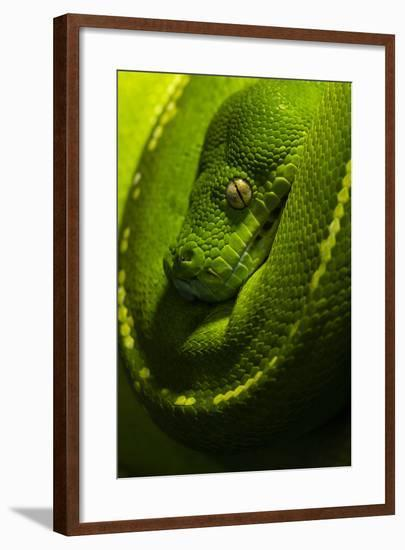 The Golden Eye, Emerald Coils and Scales of a Green Tree Python Hanging over a Branch-Jason Edwards-Framed Photographic Print
