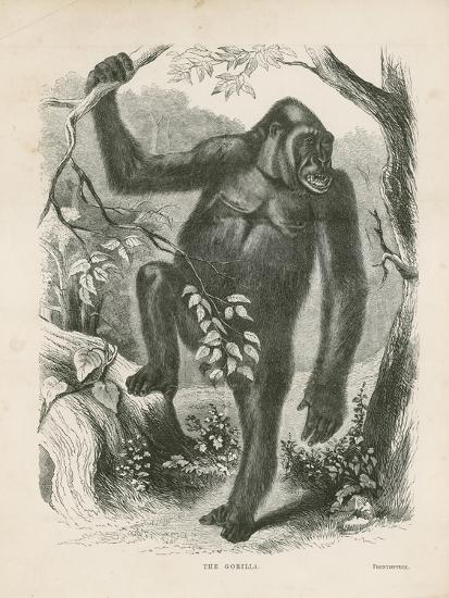 The Gorilla, Frontispiece for Explorations and Adventures in Equatorial Africa by Paul B Du Chaillu--Giclee Print