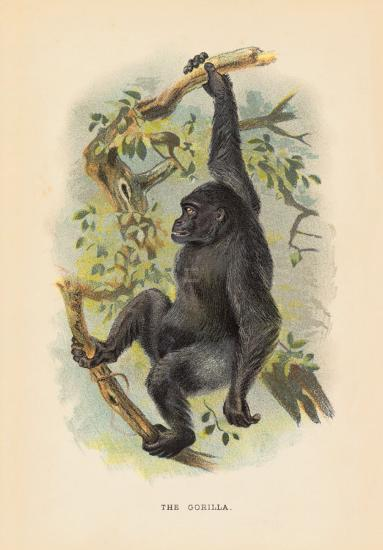 The Gorilla- JGK-Premium Giclee Print