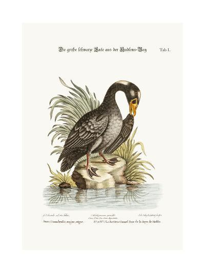 The Great Black Duck from Hudson's Bay, 1749-73-George Edwards-Giclee Print