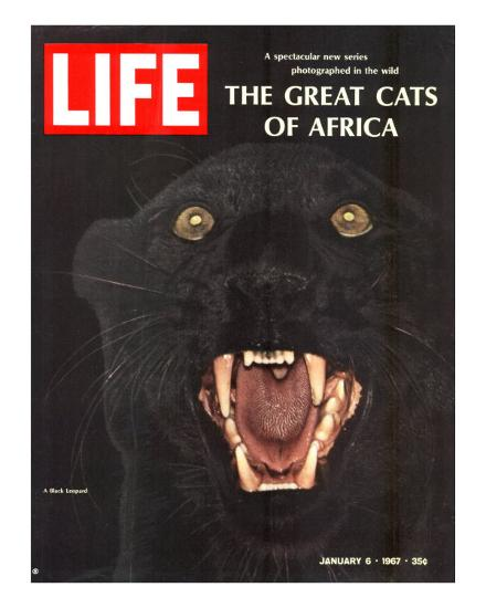The Great Cats of Africa, Black Leopard, January 6, 1967-John Dominis-Photographic Print