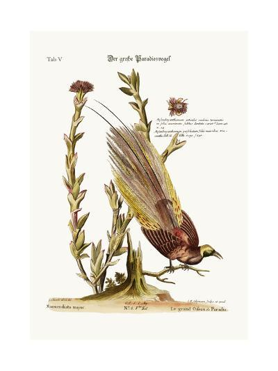 The Greater Bird of Paradise, 1749-73-George Edwards-Giclee Print