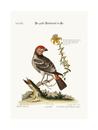 The Greatest Bulfinch-Hen, 1749-73-George Edwards-Giclee Print