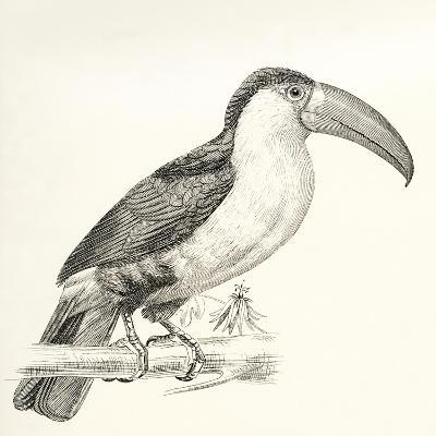 The Green-Billed Toucan Aka Red-Breasted Toucan--Giclee Print