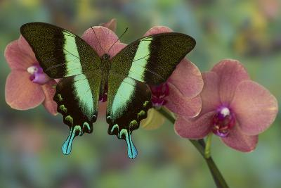 The Green Swallowtail Butterfly, Papilio Blumei-Darrell Gulin-Photographic Print