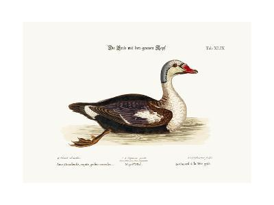 The Grey-Headed Duck, 1749-73-George Edwards-Giclee Print