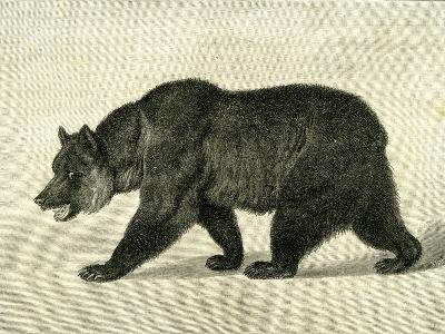 The Grizzly Bear USA 1891--Giclee Print