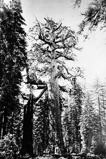The Grizzly Giant, C.1860s-Carleton Emmons Watkins-Photographic Print