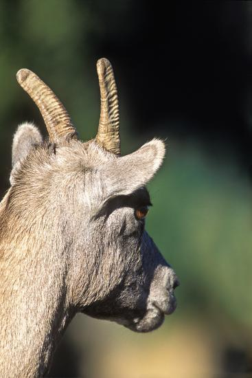 The Head and Horns of a Bighorn Ewe-Tom Murphy-Photographic Print