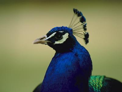 The Head of a Beautiful Blue Peacock, Pavo Sp-Joel Sartore-Photographic Print