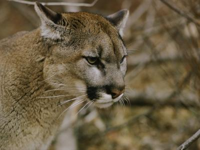 The Head of a Mountain Lion-Dr^ Maurice G^ Hornocker-Photographic Print