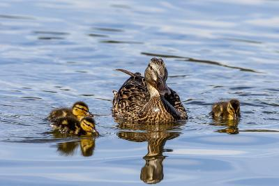 The Hen and Young Mallard Chicks Cruising the Waters of Lake Murray-Michael Qualls-Photographic Print