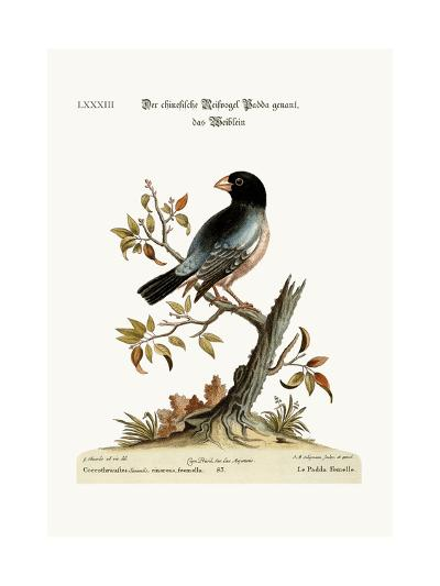 The Hen Padda or Rice-Bird, 1749-73-George Edwards-Giclee Print