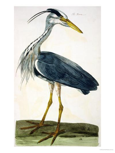"""The Heron Plate from """"The British Zoology Class II: Birds""""-Peter Paillou-Giclee Print"""