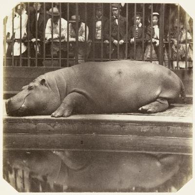 The Hippopotamus at the Zoological Gardens, Regent's Park, London, 1852-Juan Carlos-Giclee Print