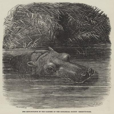 The Hippopotamus in the Gardens of the Zoological Society, Regent'S-Park-Joseph Wolf-Giclee Print
