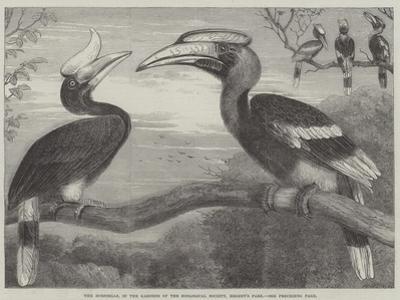 The Hornbills, in the Garden of the Zoological Society, Regent's Park