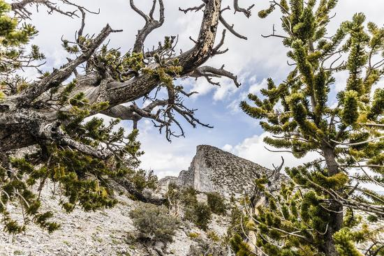 The House Range As Seen Through Bristlecone Pines-Ron Koeberer-Photographic Print