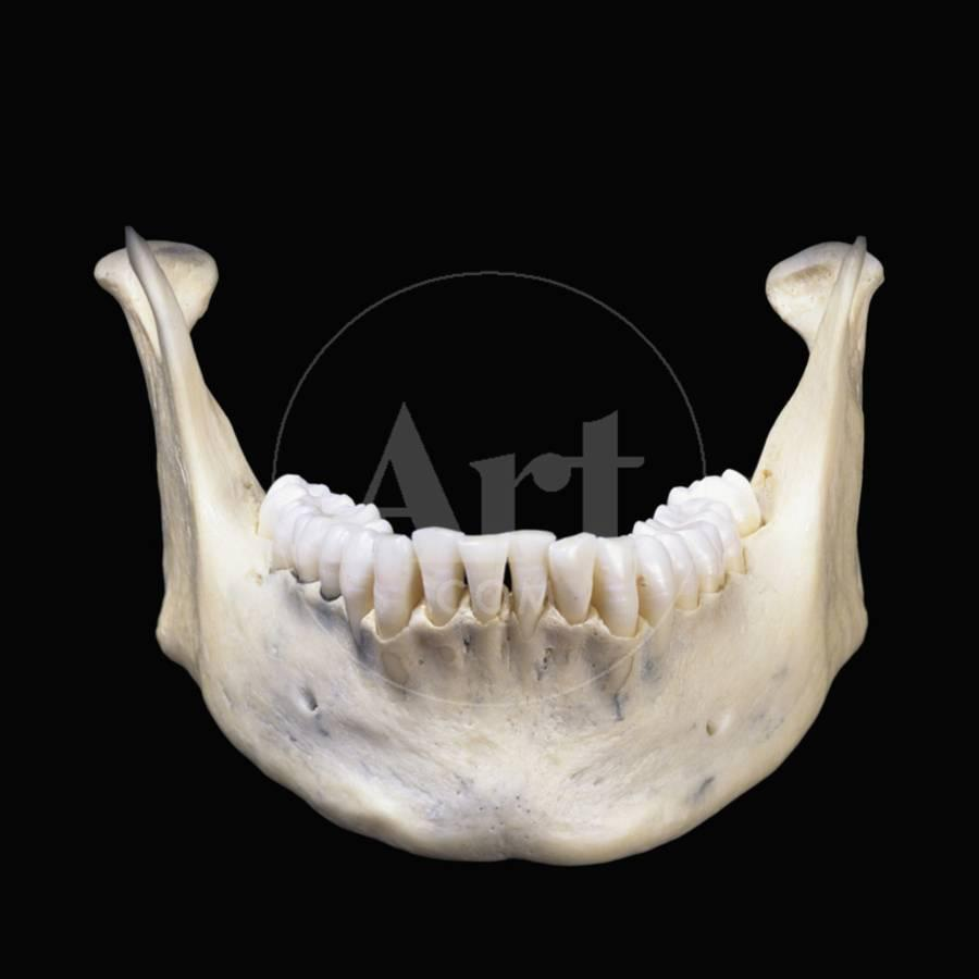 The Human Lower Jaw Bone Or Mandible Is The Largest And Strongest