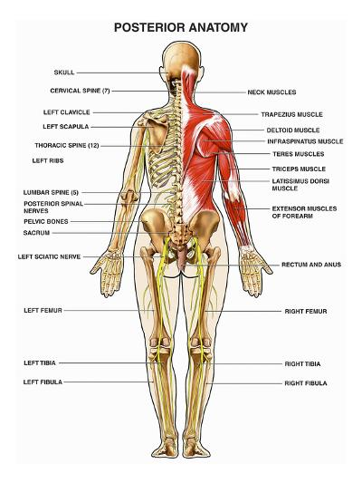 The Human Muscular, Skeletal, and Nervous Systems Shown from a Back-Nucleus Medical Art-Giclee Print