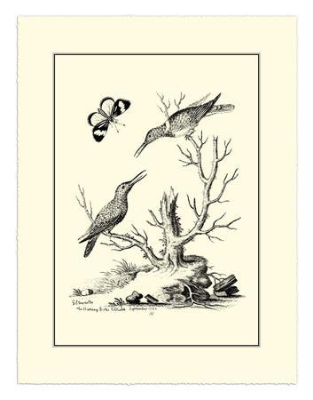 The Hummingbirds, c.1742-George Edwards-Giclee Print