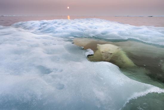 The Ice Bear-Paul Souders-Photographic Print