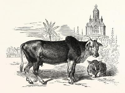 The Indian Zebu (Bos Indicus). Sometimes known as Humped Cattle or Brahmin Cattle--Giclee Print