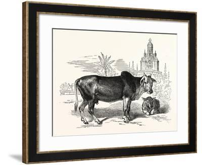 The Indian Zebu (Bos Indicus). Sometimes known as Humped Cattle or Brahmin Cattle--Framed Giclee Print